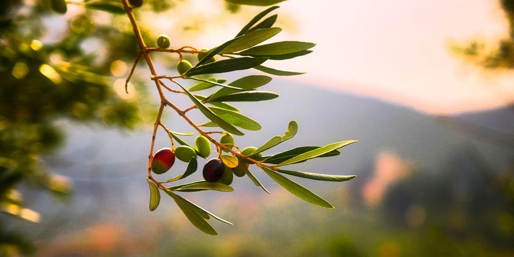 Wie gesund sind Oliven?
